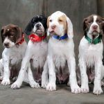 Direct to Consumer Genetic Testing in Dogs: New Frontiers and New Pitfalls