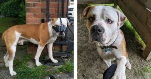 Abused Bulldog Only Understands German, Learns English To Help Find His Forever Home