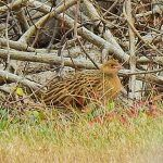 A Corn Crake in New York State!