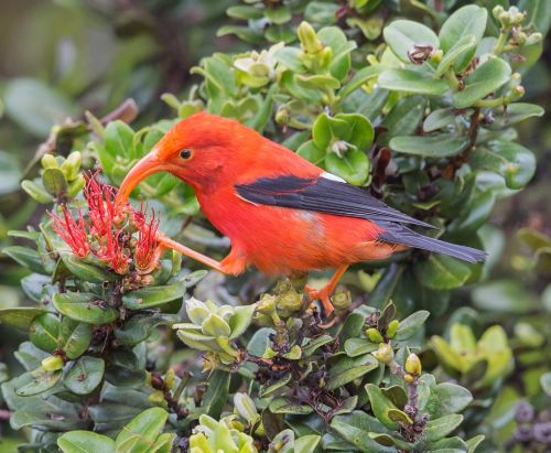 Bad News and Good News about Hawaiian Birds