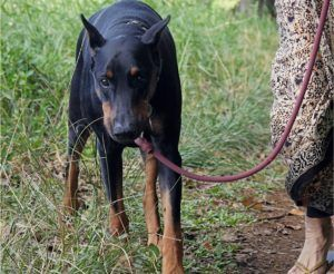 5 Tips To Prevent Your Doberman From Pulling On The Leash