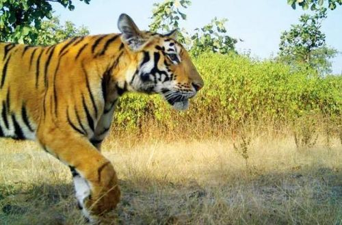 Tigress Avni 's cub jumps over tilted fence to escape in the wild - News