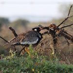 Southern Black Bustards