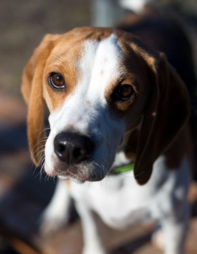 """""""HOWIE"""" smart and curious beagle"""