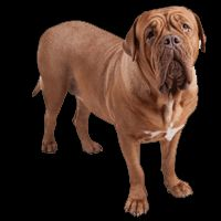 Breed: Dogue De Bourdeaux