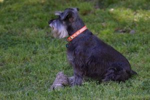 3 Basic Behaviors You Must Teach Your Schnauzer