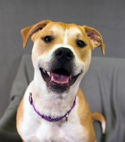 """RUGAR"" young american shelter dog mix"