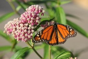 Plant for Pollinator Top 5