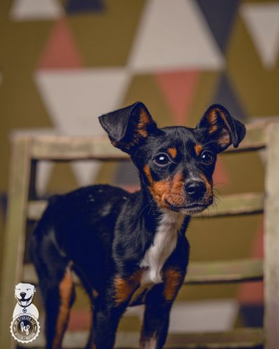 """ROSE"" fabulous MinPin Mix puppy a little bit Special Needs - Family Dogs New Life Shelter"