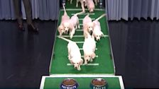 Puppies Gamely Predict Winner Of Super Bowl On 'Tonight Show'