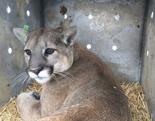 Mountain lion hunt reopens after cat is misidentified