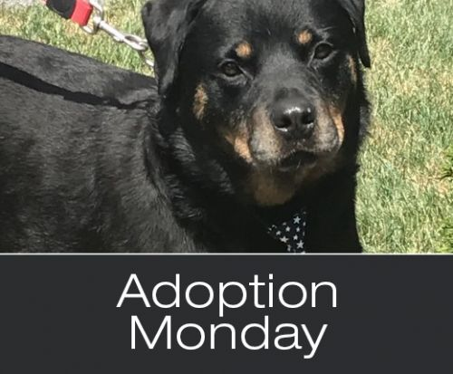 Adoption Monday: Biggie, Rottweiler, Bowmanville, ON