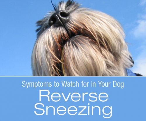 Symptoms to Watch for in Your Dog: Reverse Sneezing