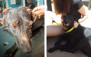Things Have Turned Around for Sweet, Sad Dog Covered in Thousands of Ticks