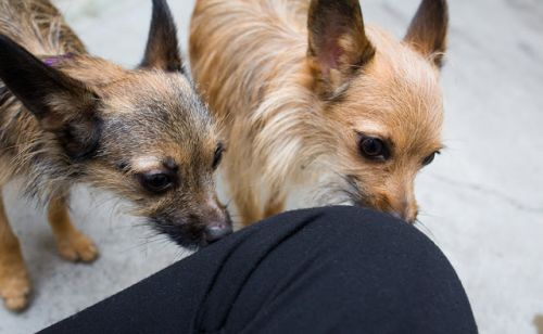 """""""HANSEL"""" and GRETEL"""" tiny terriers"""