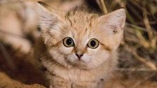 Wild Sand Kittens Caught On Video Are Almost Too Cute To Be Real