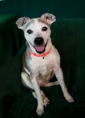 """""""BABY""""personable med sz American Shelter dog mix"""