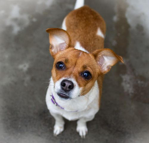 """MAPLE"" jack russell mix"