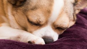 What To Do About Fever In Dogs