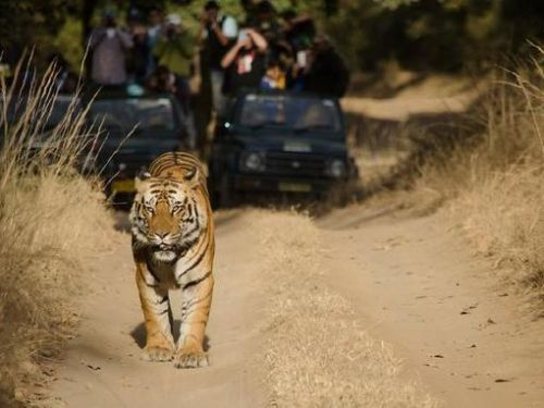 Tiger and tigress found poisoned to death near Nagpur, rangers suspect 'revenge killing' by locals