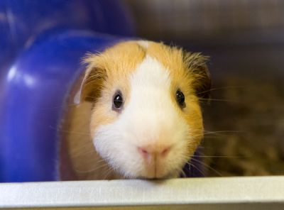"""""""SMIDEON"""" a nice young guinea pig"""