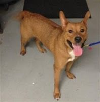 """HARLEY"" spirited, cute medium size young female American Shelter dog mix"
