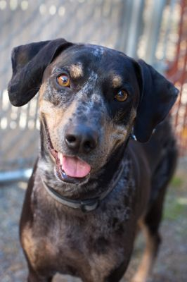 """CHESTER"" catahoula dog mix"