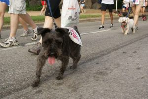 5 Tips To Prevent Your Schnauzer From Pulling On The Leash