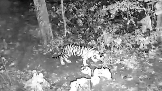 Search for Avni's male cub intensifies as trapped female cub settles in Pench Tiger Reserve