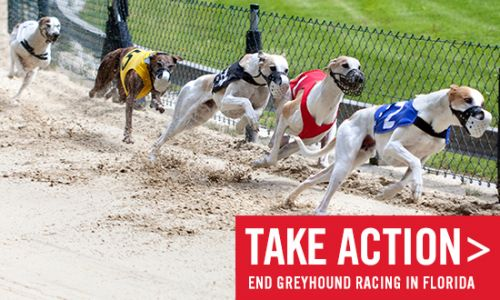 Speak Out In Support of the Greyhound Protection Amendment