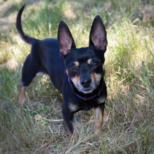 """PRISCILLA"" darling little black/tan chi mix"