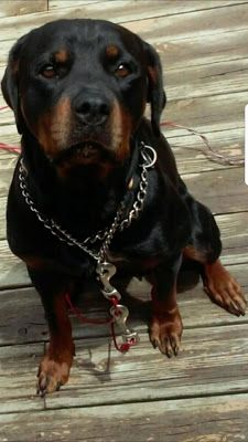 Adoption Monday: Raina, Rottweiler, Union Grove, WI