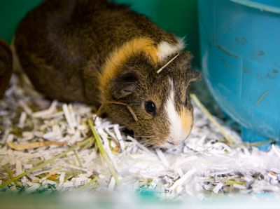 """""""SNICKERS"""" and """"KITKAT"""" sociable Guinea Pigs"""