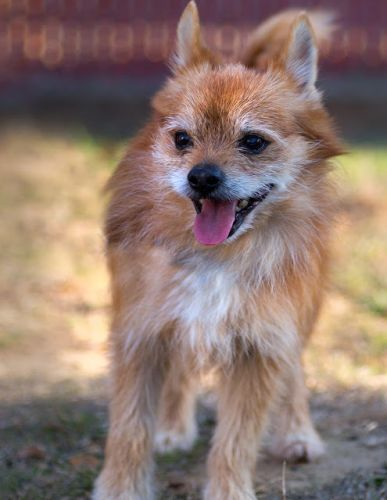 """DAKOTA"" shaggie Pom/terrier mix"