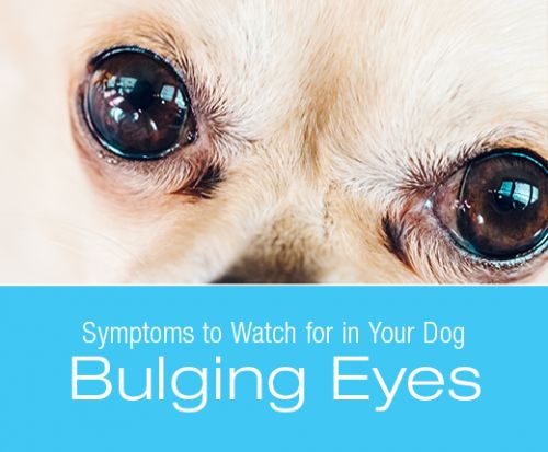 Symptoms to Watch for in Your Dog: Bulging Eyes