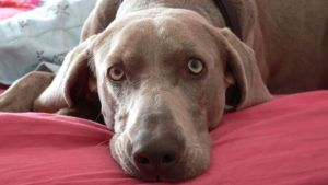 Choosing The Best Joint Supplement for a Weimaraner