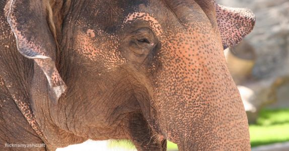 Animal Legal Defense Fund Moves to Dismiss Remaining Claims in Lucky the Elephant Lawsuit