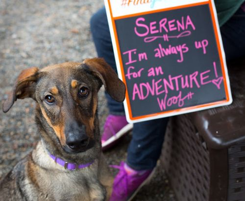 """SERENA"" Fun young German Shepherd mix"