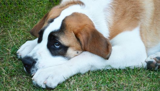 If You've Noticed Your St. Bernard Is Slower to Get Up, Begin This Routine Immediately!