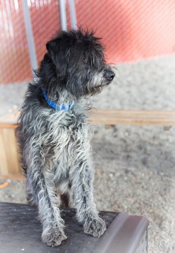 """GRIFF"" shaggy easy going Wirehaired Griffon Pointer mix"