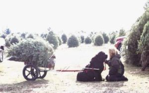 Jolly Newfies Deliver Christmas Trees By Sled At This Family Farm