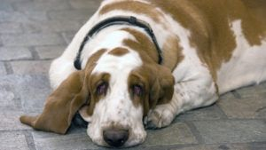 Choosing The Best Joint Supplement for a Basset Hound