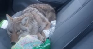 Man Drives With An Injured Coyote Thinking It Was A Dog