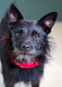 """CHARLIE"" adorable terrier/schipperke mix"