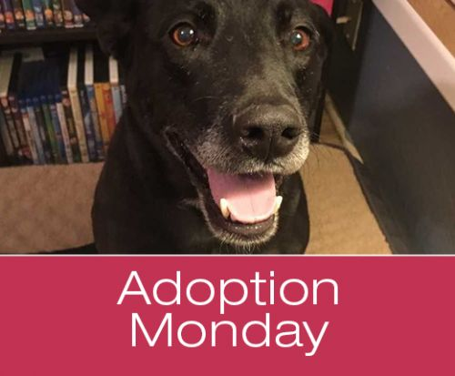 Adoption Monday: Spain, Labrador Retriever & American Staffordshire Terrier Mix, Page, AZ