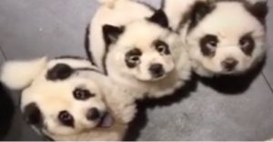 Dogs Dyed To Look Like Pandas Stir Up Controversy From China