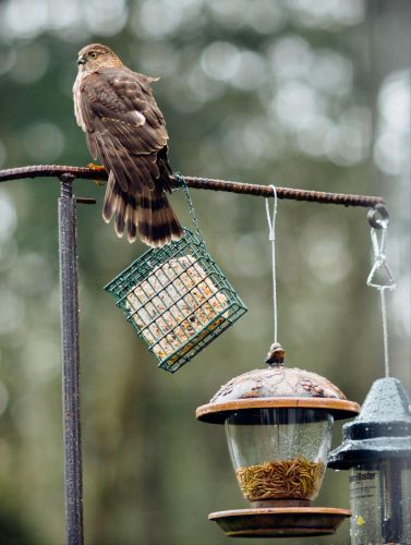 Seeing more hawks in your yard? It's not your imagination