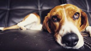 Choosing The Best Joint Supplement for a Beagle