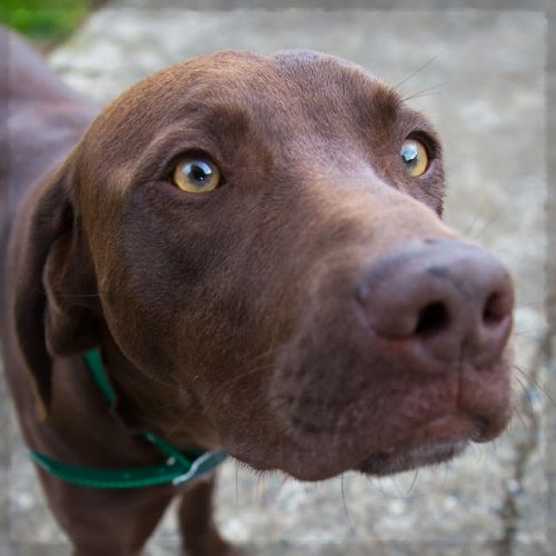 """""""GEORGE"""" young Weim/Lab mix"""