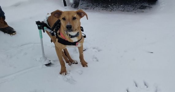 "Paralyzed Dog Is Searching For A Family To ""Ski"" With And Love Forever"